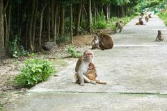 Mother and baby monkey sitting on the road. Monkey Island, Vietnam, Nha Trang
