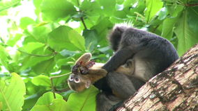Mother and baby monkey on tree stock video footage
