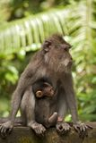 Mother and baby monkeys Stock Photos