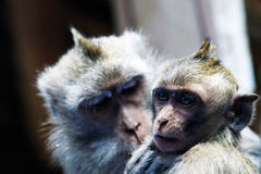 Mother and baby monkeys. Mother monkey grooms her cub Royalty Free Stock Image