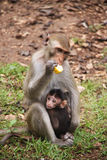 Mother and baby monkeys; Royalty Free Stock Photos