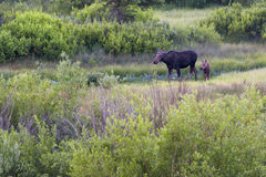 Mother and Baby Moose in the Wild Royalty Free Stock Image