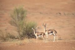 Mother and baby mountain gazelle in desert dunes. stock images
