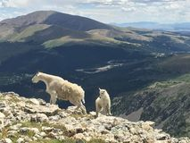 Mother and Baby Mountain Goat on Quandary Peak Colorado Stock Photo