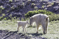 Mother and baby mountain goat Royalty Free Stock Images