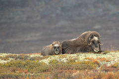 Mother and Baby Musk Ox. A baby Musk Ox lying by its mothers side on a soft bed of lichen, ericas and rare alpine plants Royalty Free Stock Photography