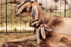 Mother and baby Nigerian dwarf goat. On a small farm royalty free stock images