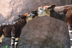 Mother and baby okapi. A mother and baby okapi share a snuggle Stock Photography