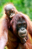 Mother and baby Orang utan stock image