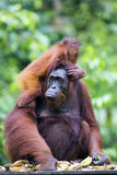 Mother and baby orang-utan. A mother and baby orang-utan in their native habitat. Rainforest of Borneo royalty free stock photos