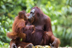 Mother and baby orang-utan Stock Photography