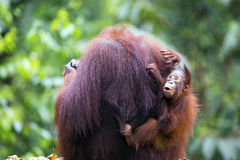 Mother and baby orang-utan. A mother and baby orang-utan in their native habitat. Rainforest of Borneo royalty free stock photography