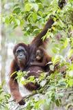 Mother & baby orang-utan. A mother & baby orang-utan in their native habitat. Rainforest of Borneo stock photo