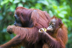 Mother and baby orang-utan. A mother and baby orang-utan in their native habitat. Rainforest of Borneo royalty free stock image