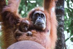 Mother and baby Orangutan hanging from a Tree in the Sumatra Rain forest, Indonesia. royalty free stock image