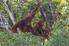 Mother and Baby Orangutan Royalty Free Stock Photos
