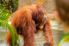 Mother and Baby Orangutan royalty free stock photo