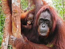 Mother & Baby Orangutans, Kalimantan, Borneo Stock Images