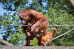 Mother and Baby Orangutans Royalty Free Stock Images