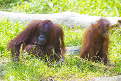 Mother and baby orangutans Stock Images