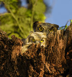 Mother and Baby Owl. Mother and baby Great Horned Owls (Bubo virginianus) in a tree cavity.  Shot at Buchanan Dam, Texas Royalty Free Stock Images