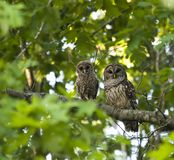Mother and Baby Owl. In the Wild Royalty Free Stock Image