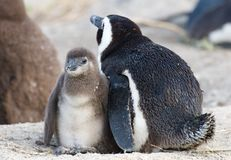 Mother and Baby penguin Royalty Free Stock Photos