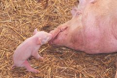 Mother and baby pig Royalty Free Stock Photos