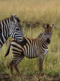 Mother & Baby Zebra Stock Photos