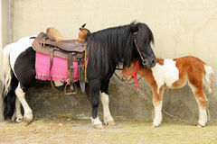Mother and baby pony Royalty Free Stock Photo