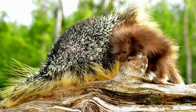 Mother and baby porcupine cuddled. Stock Photography
