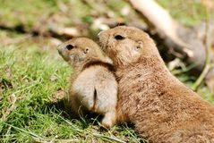 Mother and baby prairie dogs Royalty Free Stock Image