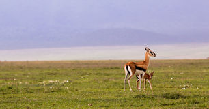 Mother and baby reedbuck Stock Image