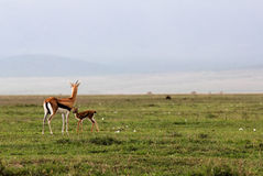 Mother and baby reedbuck Royalty Free Stock Photos