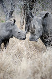 Mother and baby Rhino Stock Images