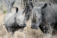 Mother and baby Rhino Royalty Free Stock Image