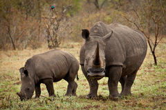 Mother and baby rhino. Mother and baby white rhino grazing with mother looking at camera Royalty Free Stock Photography