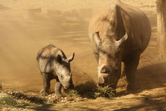 Mother and Baby. Rhino eating stock photos