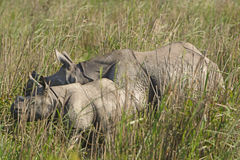 Mother and Baby rhino in the grasslands Stock Photo