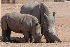 A Mother and Baby Rhino walk together royalty free stock photo