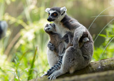 Mother and baby ring-tailed le Stock Images