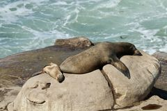 Mother and Baby Sea Lion on the rocks in La Jolla. San Diego California Stock Photography