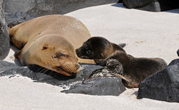 Mother and baby sea-lions are kissing. Galapagos mother and baby sea-lions are kissing royalty free stock photography