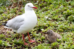 Mother and Baby Seagulls Royalty Free Stock Photography