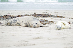 Mother and baby seal Royalty Free Stock Photos