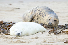 Mother and baby seal on the beach Royalty Free Stock Images