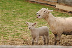 Mother and Baby Sheep Royalty Free Stock Images