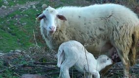 Mother and Baby Sheep stock video