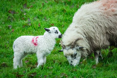Mother and baby sheep Stock Photos