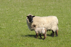 Mother and Baby. Mother sheep with her lamb in a grass field Royalty Free Stock Photography